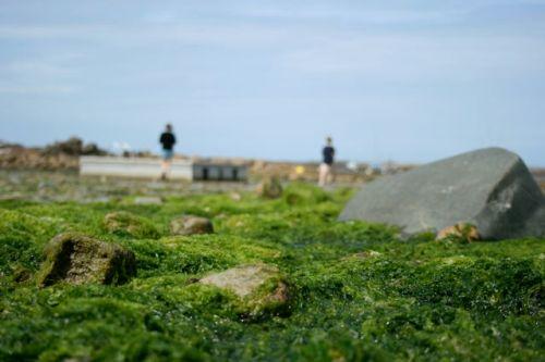 Alge-invasjon på Bretagne-kysten. Foto: ERIK AASHEIM