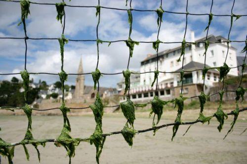 Alger i nettet på St-Michel en-Greve. Foto: ERIK AASHEIM